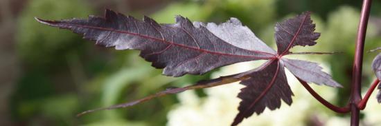 acer palmatum 'trompenburg'